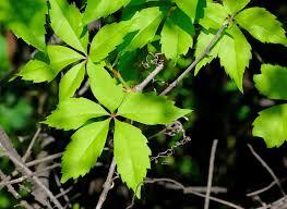Parthenocissus spec